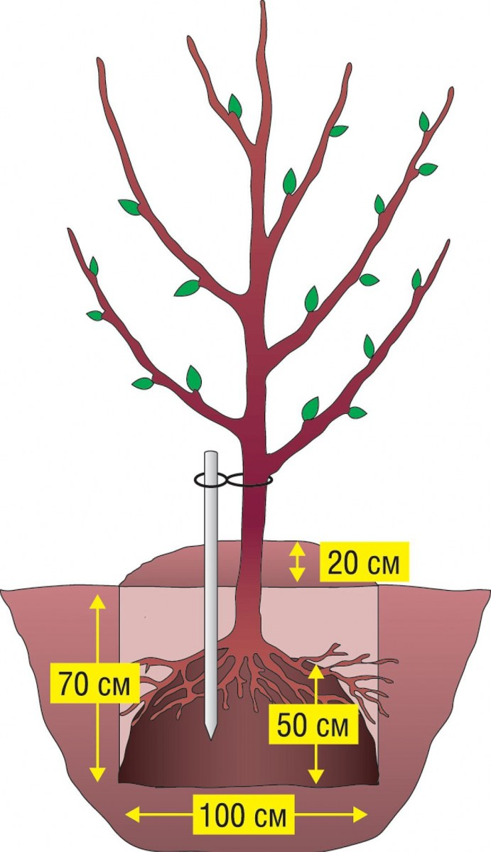 как растет корень груши фото дальше