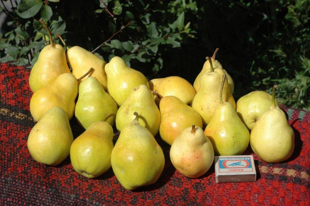 Размеры плодов груши Чижевской.