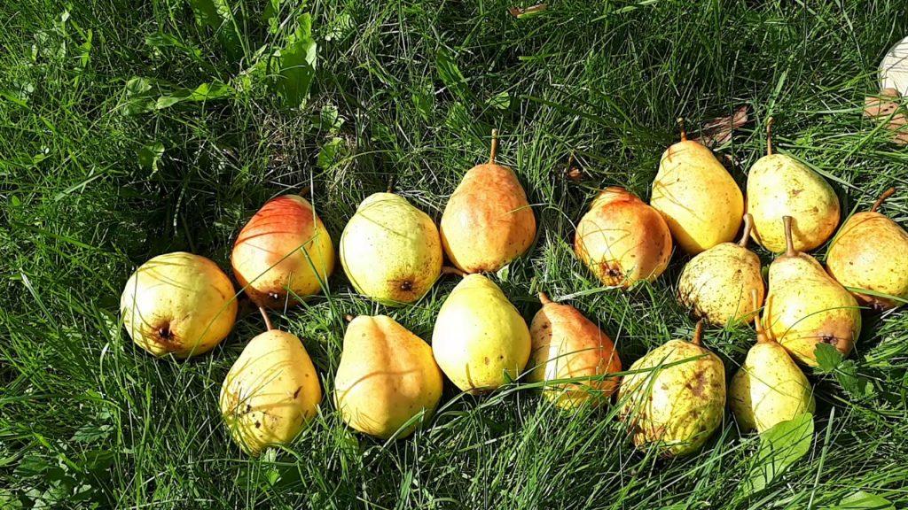 Зрелые плоды груши Лада.