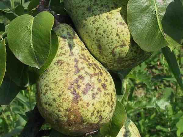Пораженные плоды груши.