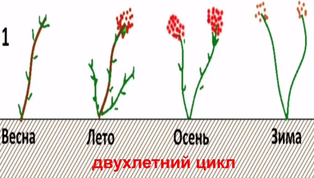 Двухлетний цикл роста малины.