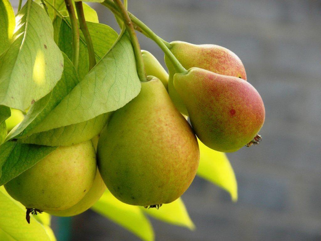 Сорта груш для Северо-Запада России.