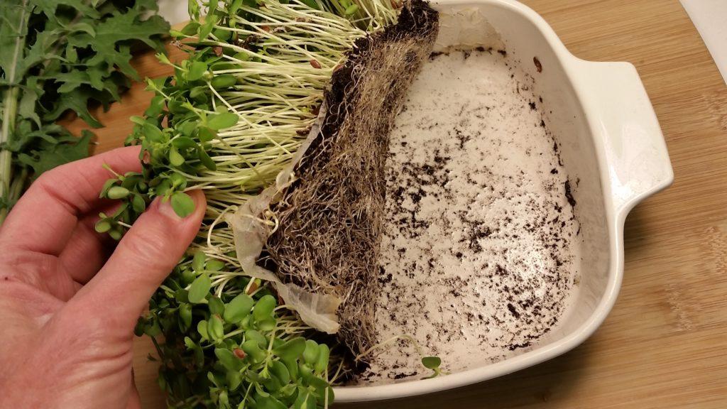 Как правильно выращивать микрозелень.