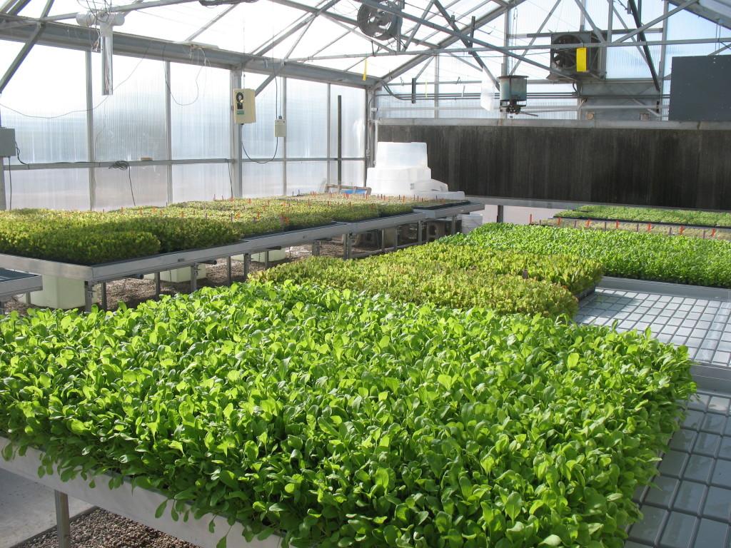 Промышленное выращивание микрозелени.