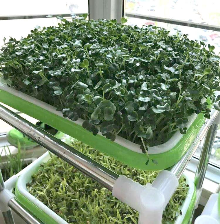 Выращивание микрозелени на балконе.