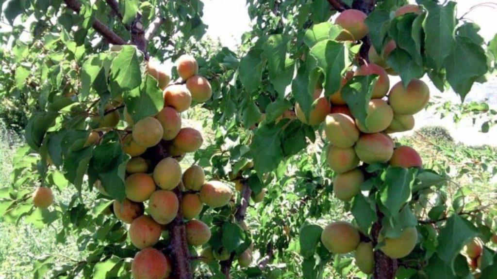 Уход за абрикосом в летний период.