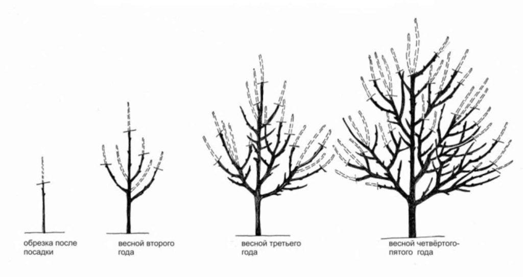 Обрезка абрикоса в разные периоды.