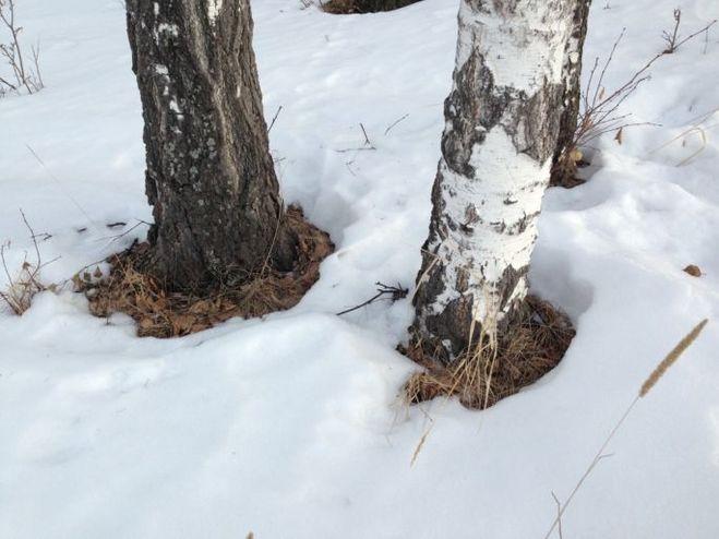 Снежная подушка вокруг ствола дерева.