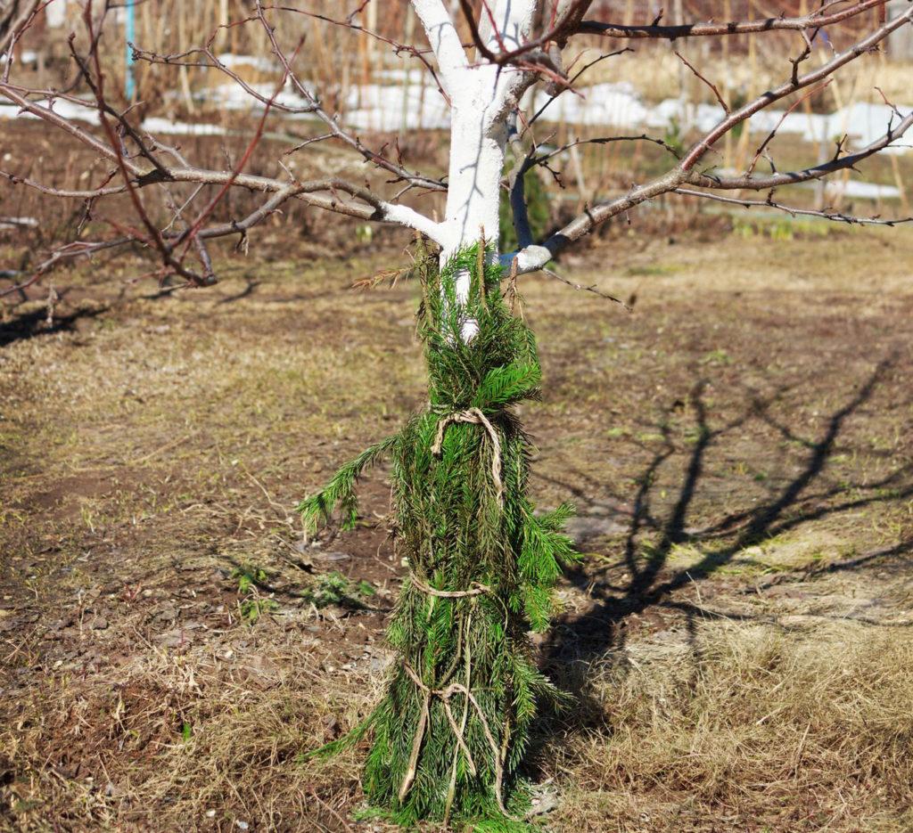 Обвязка плодовых деревьев.