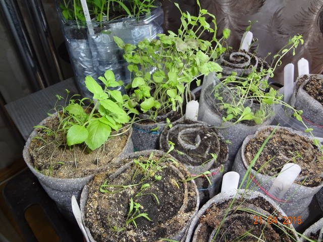 Проращивание рассады петуньи в улитке.