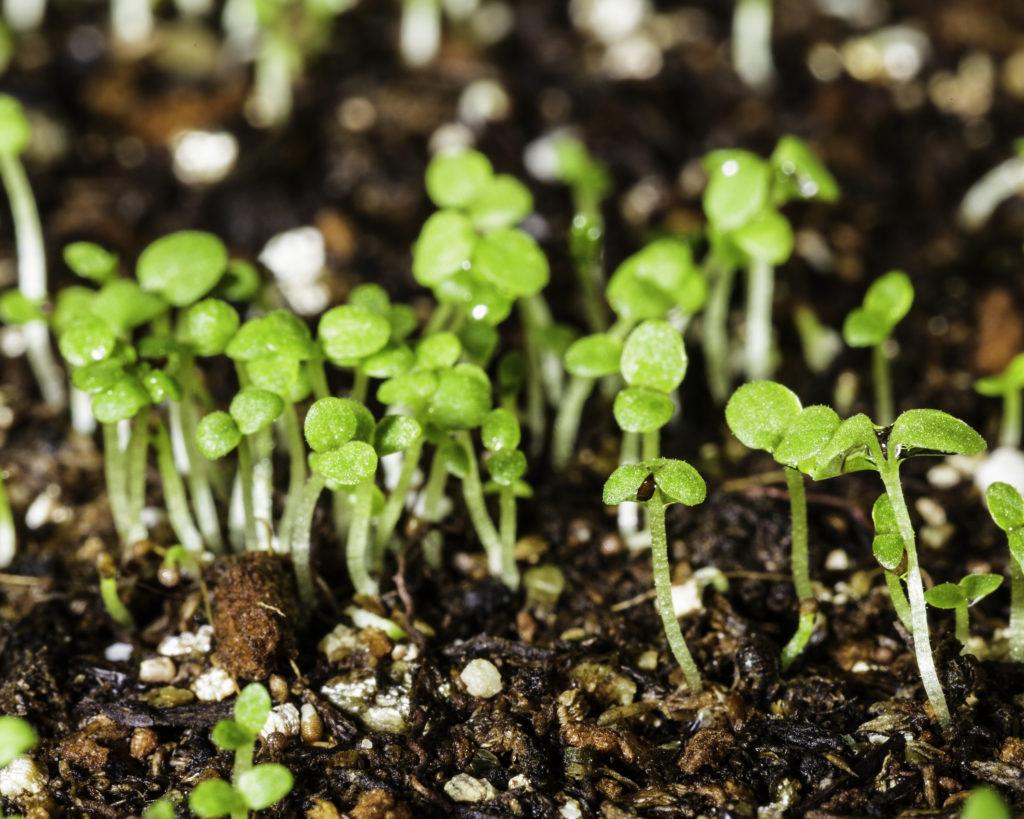 Как выращивать рассаду петуньи.