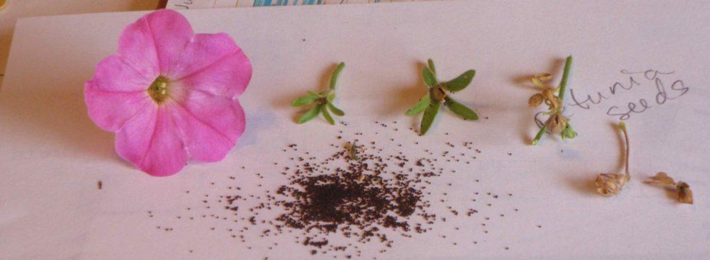 Семена петуньи.
