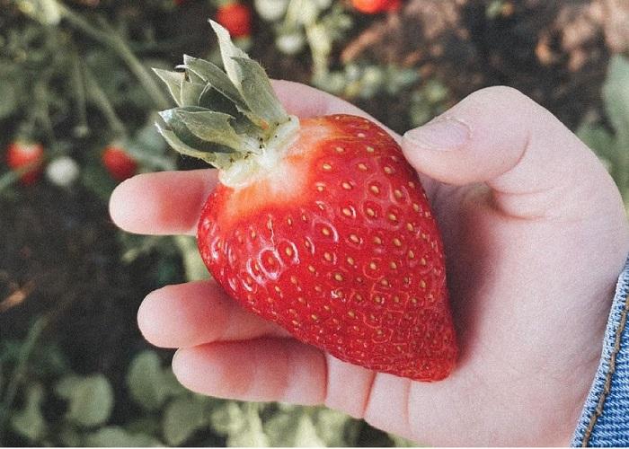 Сорт клубники Азия крупные ягоды