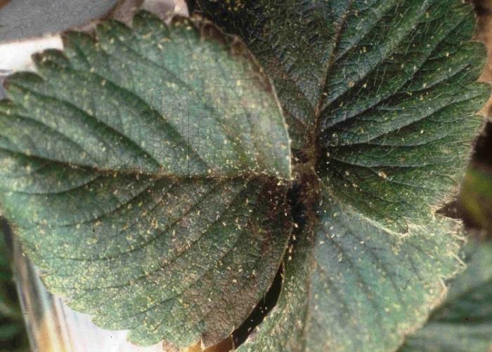 Листья клубники с земляничным клещом фото